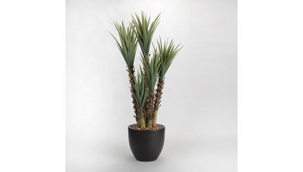 Yucca Plant Group in Black Round Planter - 5.5ft Tall